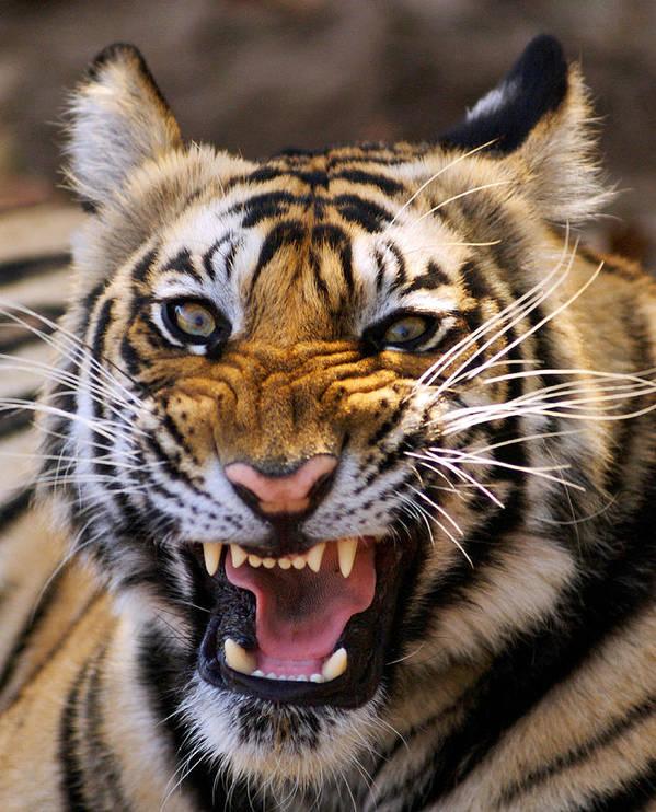 Panthera Tigris Print featuring the photograph Bengal Tiger (panthera Tigris) by Louise Murray