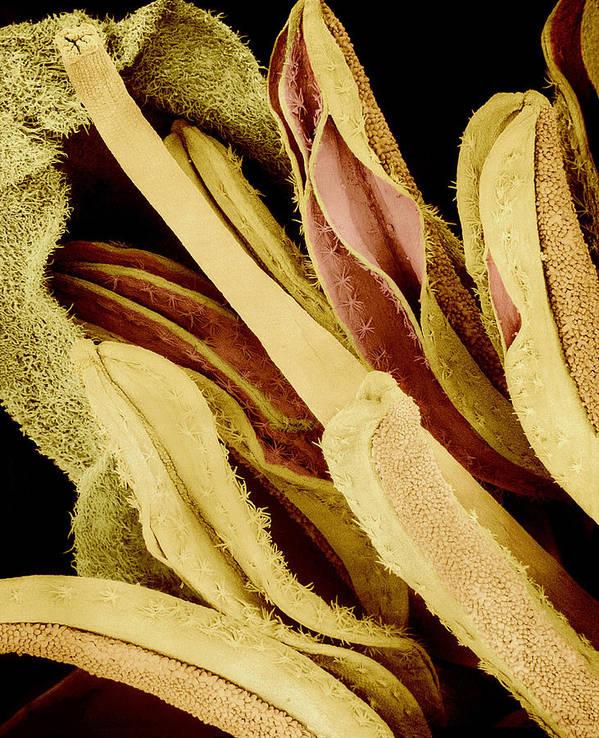 Sem Print featuring the photograph Flower Reproductive Parts, Sem by Susumu Nishinaga