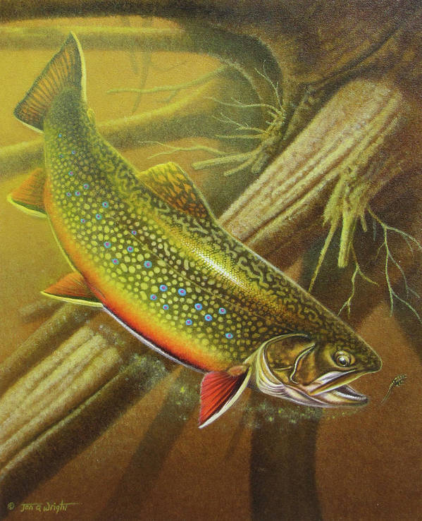 Jon Q Wright Brook Trout Fly Fishing Fly Fish Fishing Nymph Stream River Lake Print featuring the painting Brook Trout Cover by JQ Licensing