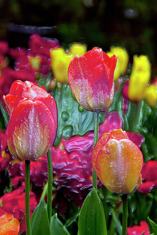 Tulips Print featuring the digital art Tulip Candy by Don Wright