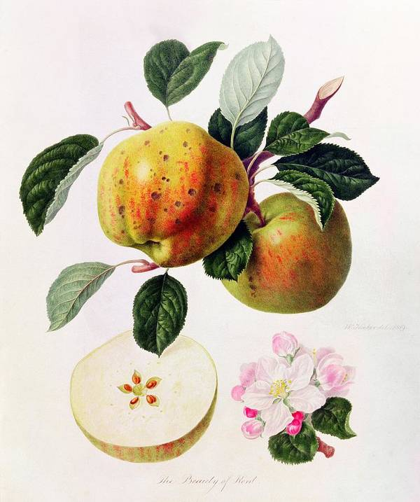 Apple Blossom; Flower; Fruit; Apples; Branch; Leaves; Botanical Illustration Print featuring the painting The Beauty Of Kent by William Hooker