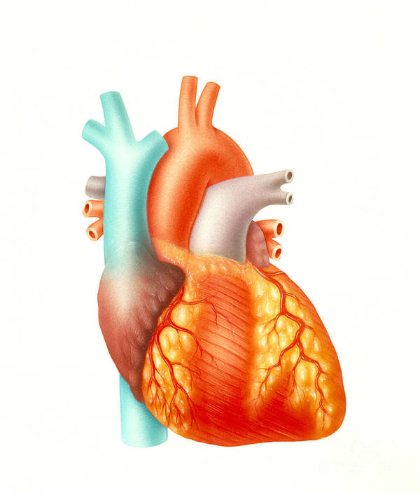 Illustration Print featuring the photograph Illustration Of The Human Heart by Carlyn Iverson