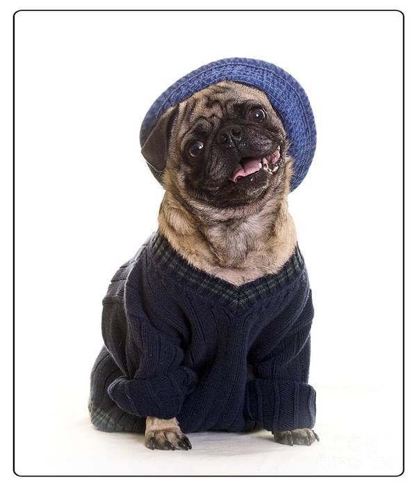 Clothes Print featuring the photograph Pug In Sweater And Hat by Edward Fielding