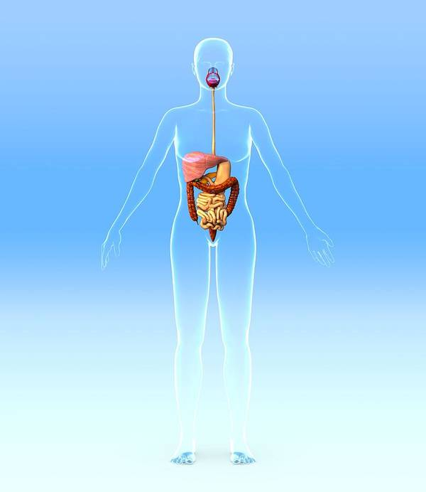 Liver Print featuring the photograph Digestive System, Artwork by Roger Harris