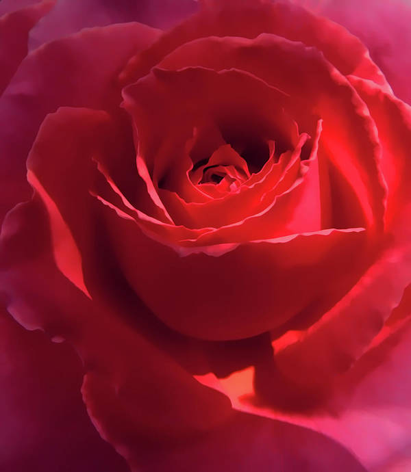 Rose Print featuring the photograph Scarlet Rose Flower by Jennie Marie Schell