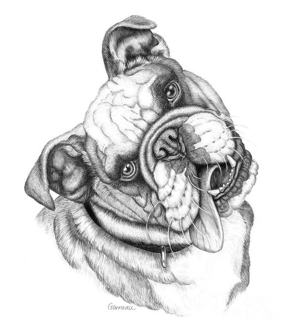 Bulldog Print featuring the drawing Buster by Catherine Garneau