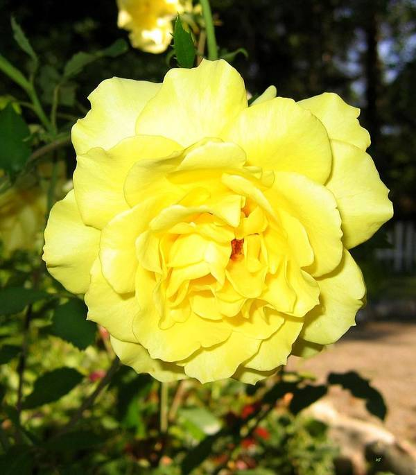 Upbeat Yellow Rose Print featuring the photograph Upbeat Yellow Rose by Will Borden