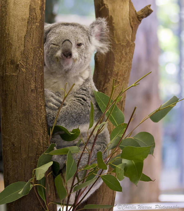 Koala Print featuring the photograph Wink by Charles Warren