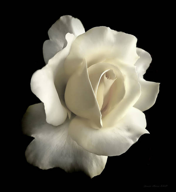Rose Print featuring the photograph Grandeur Ivory Rose Flower by Jennie Marie Schell