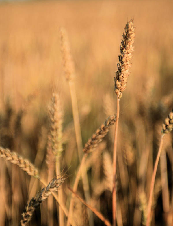 Stand Out From The Crowd Wheat Weat Grain Grains Farm Farmer Farmers Delmarva Maryland Md Chesapeake City Bay Different Difference Bread Basket Heatland Country Rustic Americana Kansas Ks Print featuring the photograph Standing Out In A Crowd by JC Findley