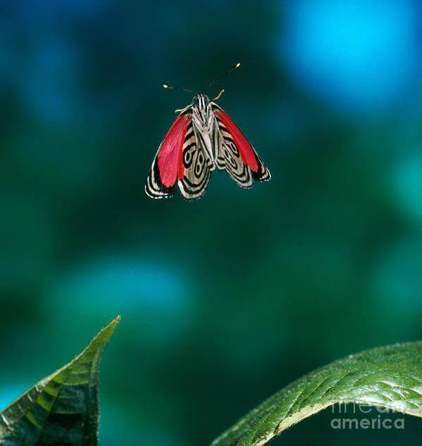 Animal Print featuring the photograph 89 Butterfly In Flight by Stephen Dalton