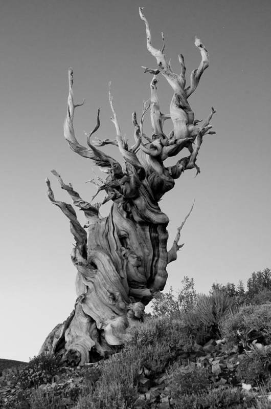 California Print featuring the photograph Ancient Bristlecone Pine by Daniel Ryan