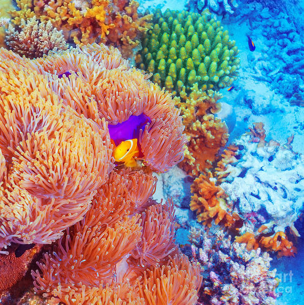 Maldives Print featuring the photograph Clown Fish Swimming Near Colorful Corals by Anna Omelchenko