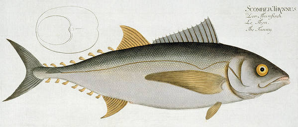 Fish Print featuring the painting Tuna by Andreas Ludwig Kruger