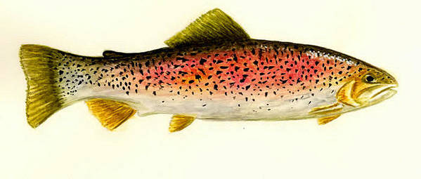 Fish Print featuring the painting Rainbow Trout by Michael Vigliotti
