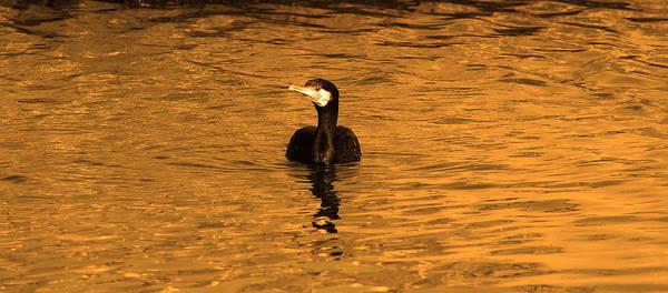 Bird Print featuring the photograph Black Bird On Surise by Radoslav Nedelchev