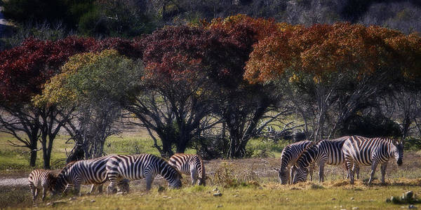 Animal Print featuring the photograph Autumn Grazing by Joan Carroll