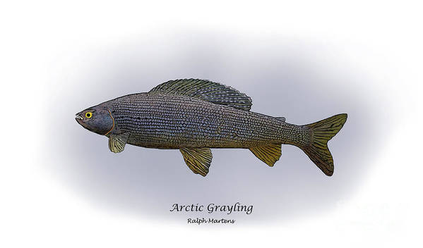 Grayling Print featuring the painting Arctic Grayling by Ralph Martens