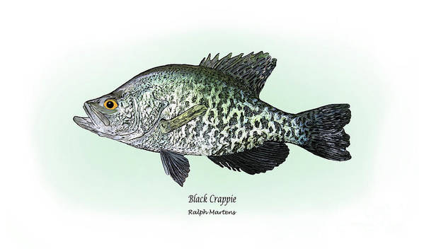 Crappie Print featuring the drawing Black Crappie by Ralph Martens