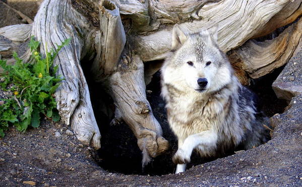 Wolf Print featuring the photograph Wolf Den 1 by Marty Koch
