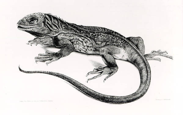 Lizard Print featuring the painting Reptile by English School
