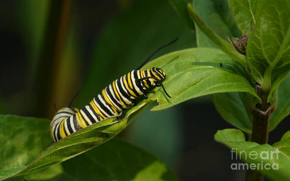Monarch Print featuring the photograph Two Caterpillars by Steve Augustin