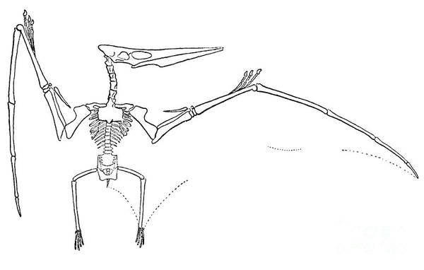 Terrestrial Vertebrate Print featuring the photograph Pteranodon Longiceps by Science Source