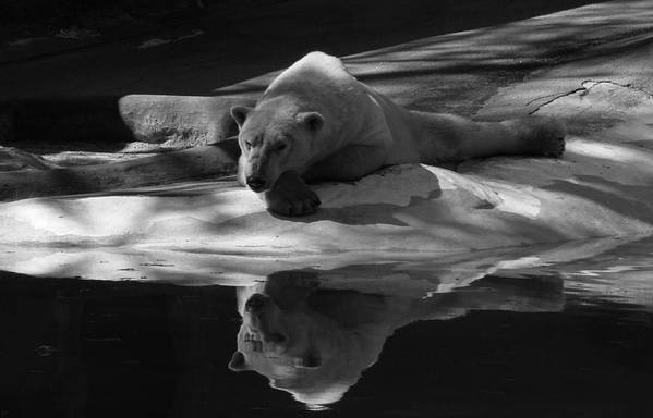 Bear Print featuring the photograph A Polar Bear Reflects by Karol Livote