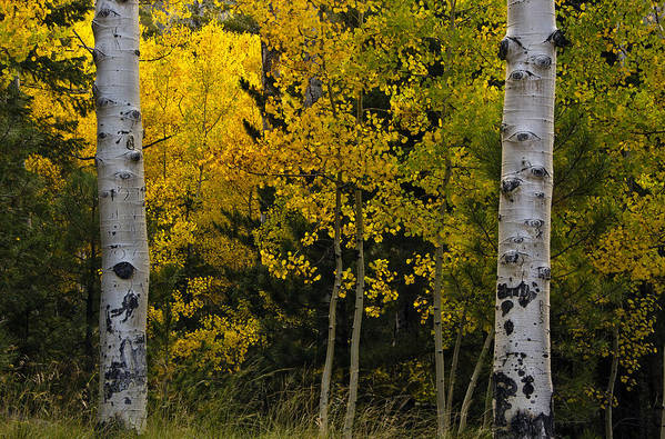 Aspen Print featuring the photograph Aspen Light by Dave Dilli