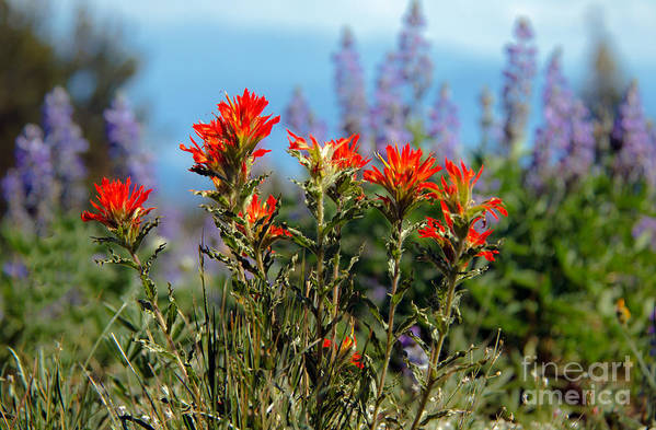 Wild Flowers Print featuring the photograph Indian Paintbrush by Robert Bales