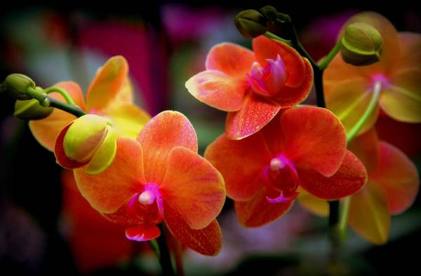 Orchids Print featuring the photograph Orchid Melody by Karen Wiles