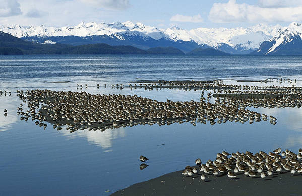 Mp Print featuring the photograph Western Sandpiper Calidris Mauri Flock by Michael Quinton