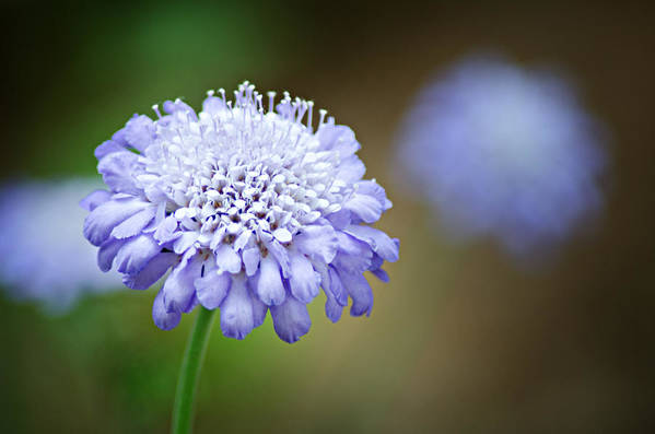 Butterfly Blue Pincushion Flower Print featuring the photograph 1205-8794 Butterfly Blue Pincushion Flower by Randy Forrester