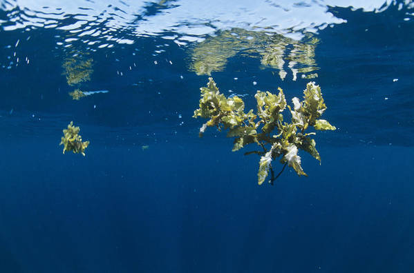Alga Print featuring the photograph Tropical Seaweed by Alexis Rosenfeld