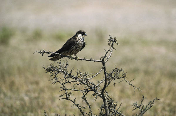 Turkey Print featuring the photograph A Juvenile Hobby Perches On A Branch by Klaus Nigge