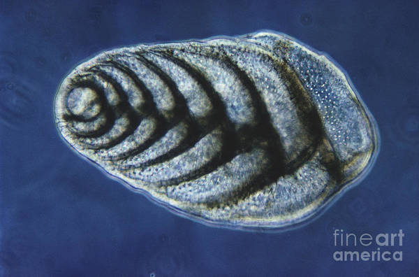 Science Print featuring the photograph Bolivina Robusta Lm by Eric V. Grave