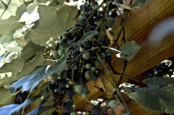 Concord Print featuring the photograph Concord Grapes by Heather Grow