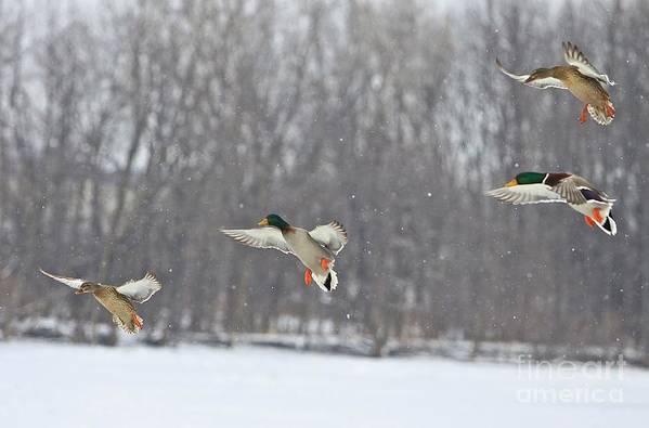 Ducks Unlimited Art Prints For Sale