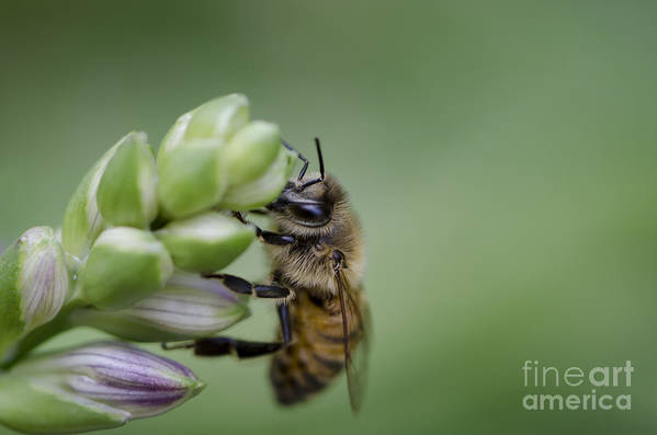 Bee Print featuring the photograph Busy Bee by Andrea Silies