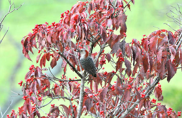 Woodpeckers Print featuring the photograph Red Bellied Woodpecker In Dogwood by Alan Lenk