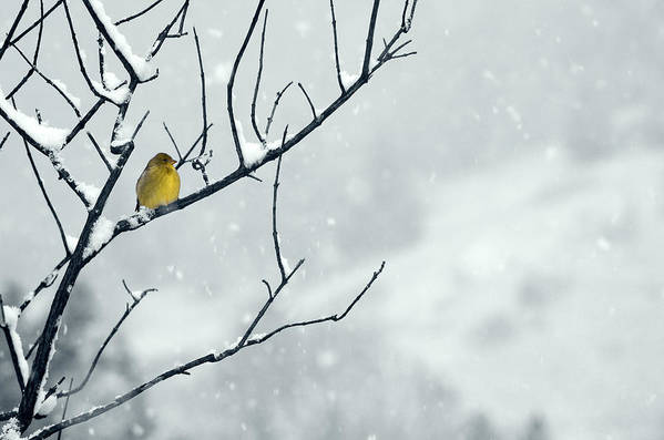 Goldfinch Print featuring the photograph Winter Snow With A Touch Of Goldfinch For Color by Laura Mountainspring