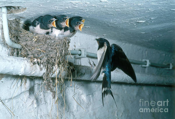 Barn Swallow Print featuring the photograph Barn Swallows by Hans Reinhard