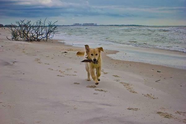 Golden Retriever Running Print featuring the photograph Beach Run by Mary Swann
