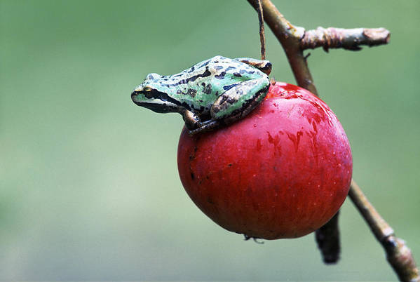 Bright Print featuring the photograph Pacific Tree Frog On A Crab Apple by David Nunuk