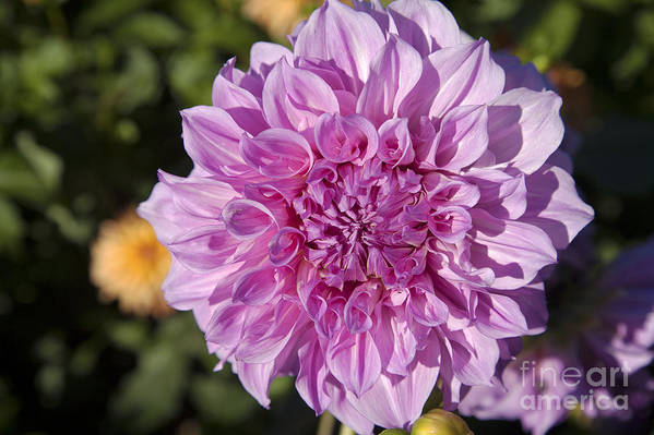 Bloom Print featuring the photograph Pink Dahlia by Peter French