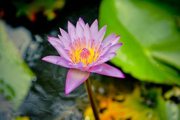 Backgrounds Print featuring the photograph Purple Lotus by Raimond Klavins