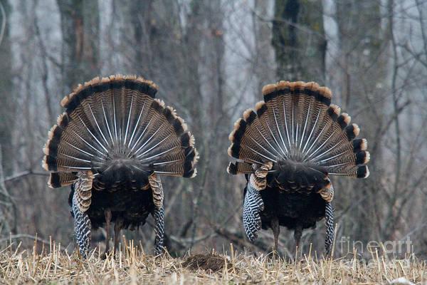 Eastern Wild Turkey Print featuring the photograph Jake Eastern Wild Turkeys by Linda Freshwaters Arndt