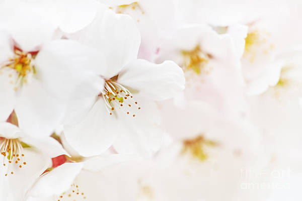 Apple Blossoms Print featuring the photograph Apple Blossoms by Elena Elisseeva