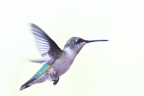 Ruby-throated Hummingbird Print featuring the photograph Hummer by Annette Hugen