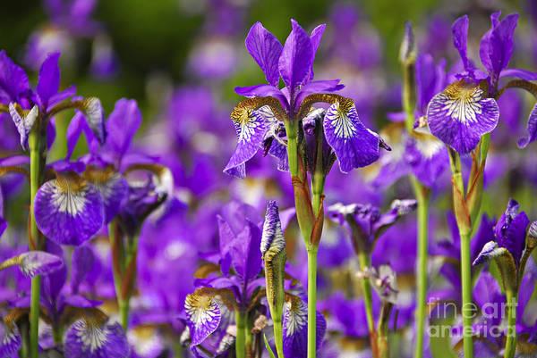 Iris Print featuring the photograph Irises by Elena Elisseeva
